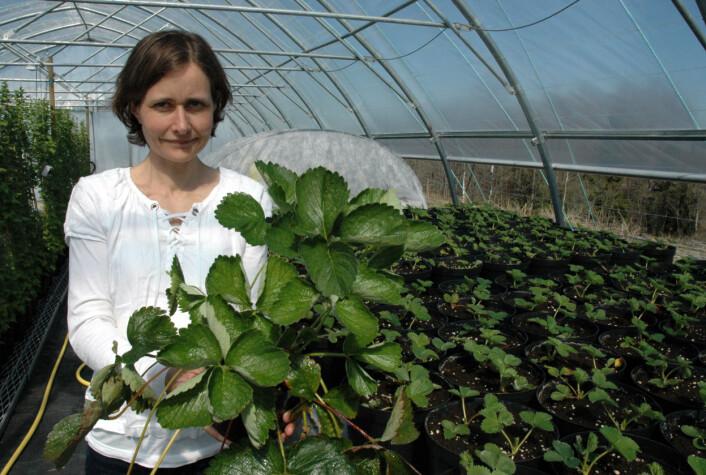 Forsker Nina Opstad ved Bioforsk Øst Apelsvoll med jordbærplanter som skal testes ut gjennom prosjektet. (Foto: Jon Schärer)