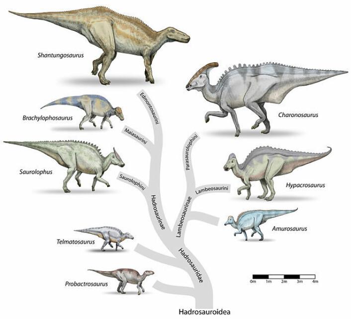 Familietreet til nebbdinosaurene (hadrosauridae). (Illustrasjon: Wikimedia Commons, lisens her)