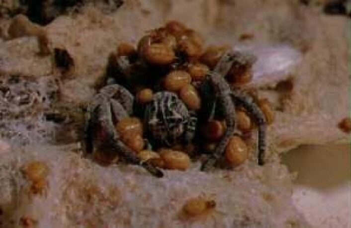 Små gule edderkoppunger fortærer moren sin to uker etter at de er kommet til verden. (Foto: Trine Bilde)