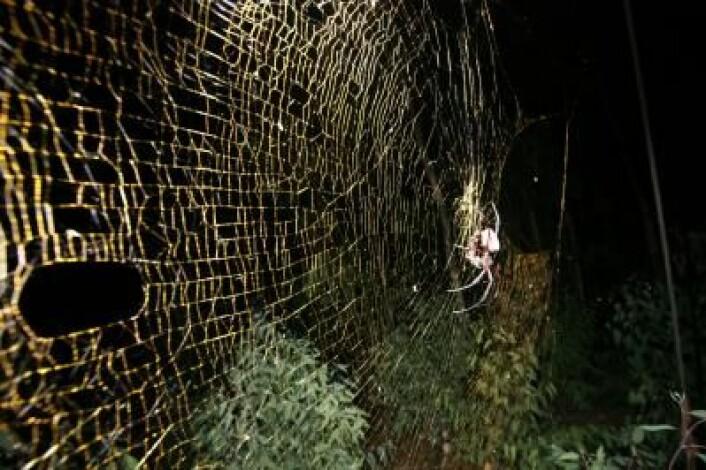 Et kjempemessig edderkoppnett 1 meter i diameter, spunnet av en Nephila-edderkopp. (Foto: M. Kuntner)