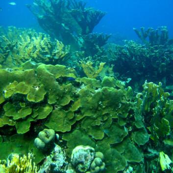 Dette revet i Curaçao er dominert av korallen Montastraea faveolata. (Foto: Mark Vermeij)