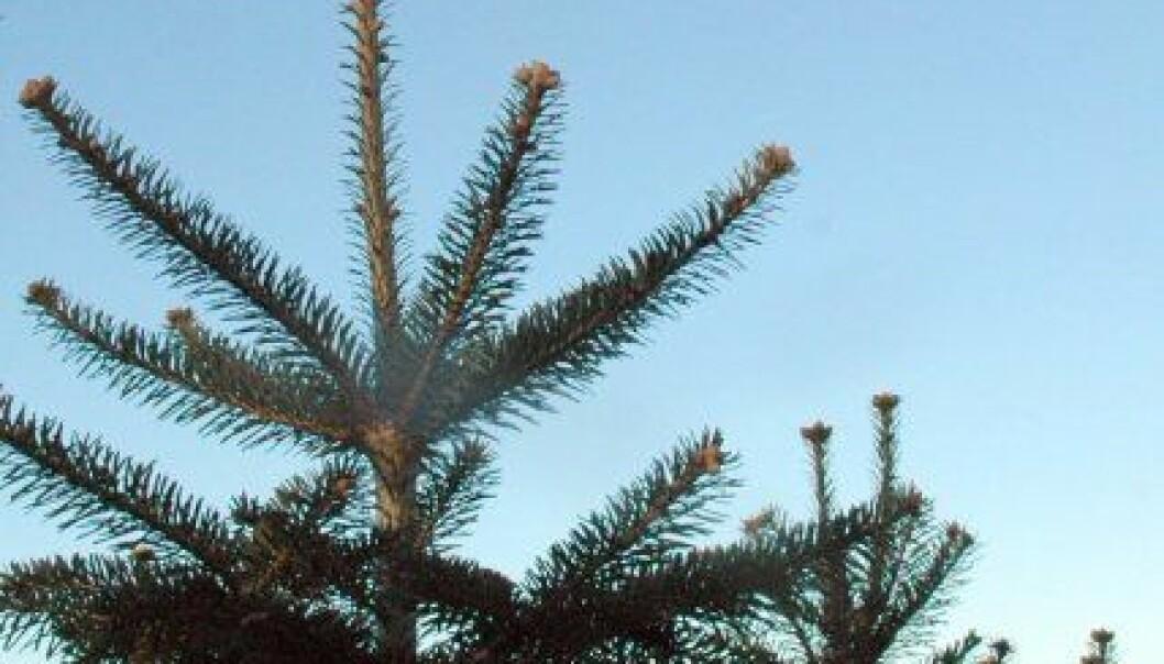 Mens danske juletrær behandles med vekstregulerende hormoner må reguleringen i norske trær gjennomføres med andre metoder. (Foto: Jon Schärer)