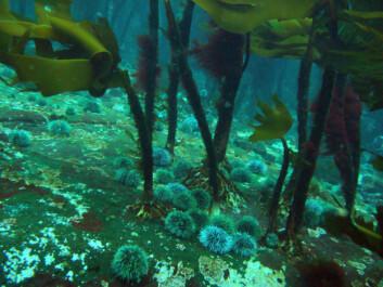 Kråkeboller har invadert og beitet med store deler av tareskogen langs kysten. (Foto: Hartvig Christie)