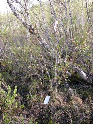 """""""Slik kan bjørkeskog se ut når sommerfuglene går løs på den. (Foto: Nigel G. Yoccoz)"""""""