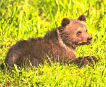 """""""Det er ikke bare bare å være liten i bjørneland. Opptil 40 prosent av ungene dør."""""""