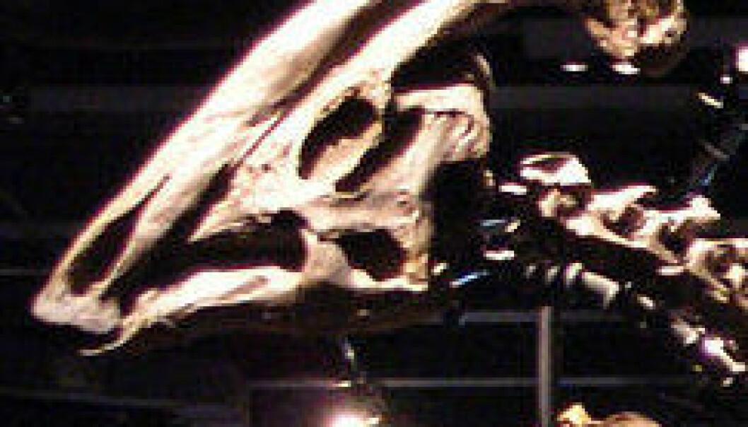Nebbdinosauren Parasaurolophus cyrtocristatus utstilt ved Field Museum of Natural History i Chicago i USA. (Foto: Wikimedia Commons, lisens her)