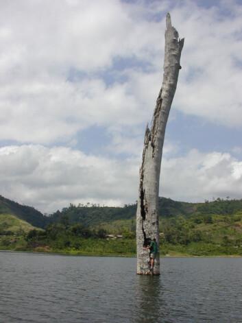 Forskerne har tatt prøver fra trær som delvis har sunket ned i elven Bosumtwi. Den nedsunkne skogen bidrar til å gi forskerne ny viten om tidligere langvarige tørkeperioder i Vest-Afrika. (Foto: T.M. Shanahan)