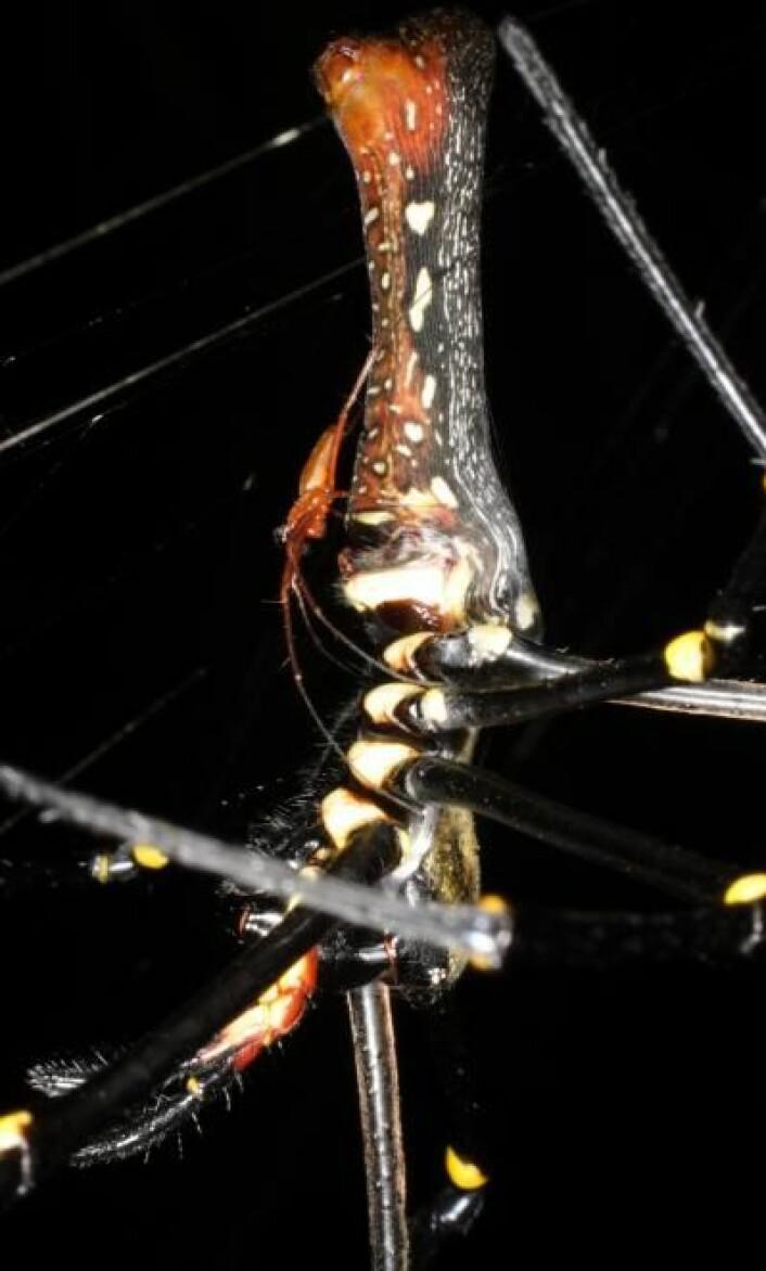 Forskjellen i kroppsstørrelse mellom hann- og hunn-Nephila er ekstrem. Her sees den røde hannen til venstre, sittende på ryggen til hunnen. (Foto: M. Kuntner)