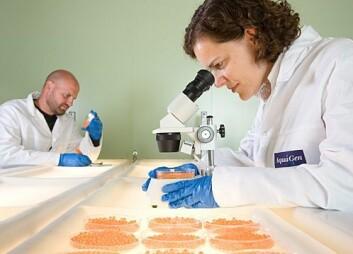 Forskerne har funnet ett enkelt gen som forklarer resistens mot IPN. (Foto: Aqua Gen)