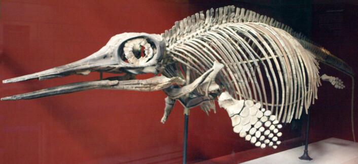 Ophthalmosaurus icenius. Dette eksemplaret ble oppdaget i Oxford Clay, England. (Foto: Captmondo)