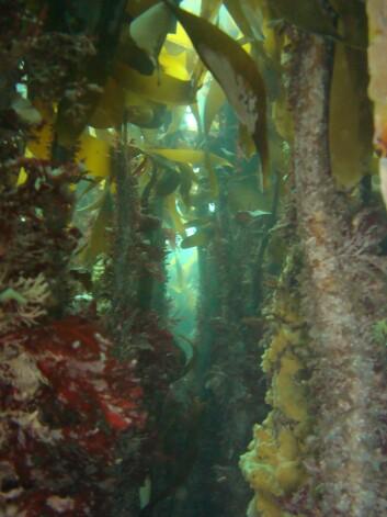 Tareskogen er et viktig gyte- og oppvekstområde for fisk. (Foto: Trine Bekkby)
