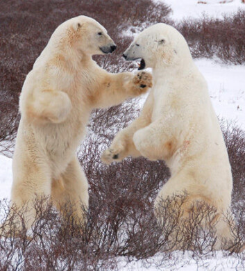 Hanner måler styrke og venter på at sjøisen i Hudson Bay skal fryse for vinteren. (Foto: Steven C. Amstrup, Polar Bears International)