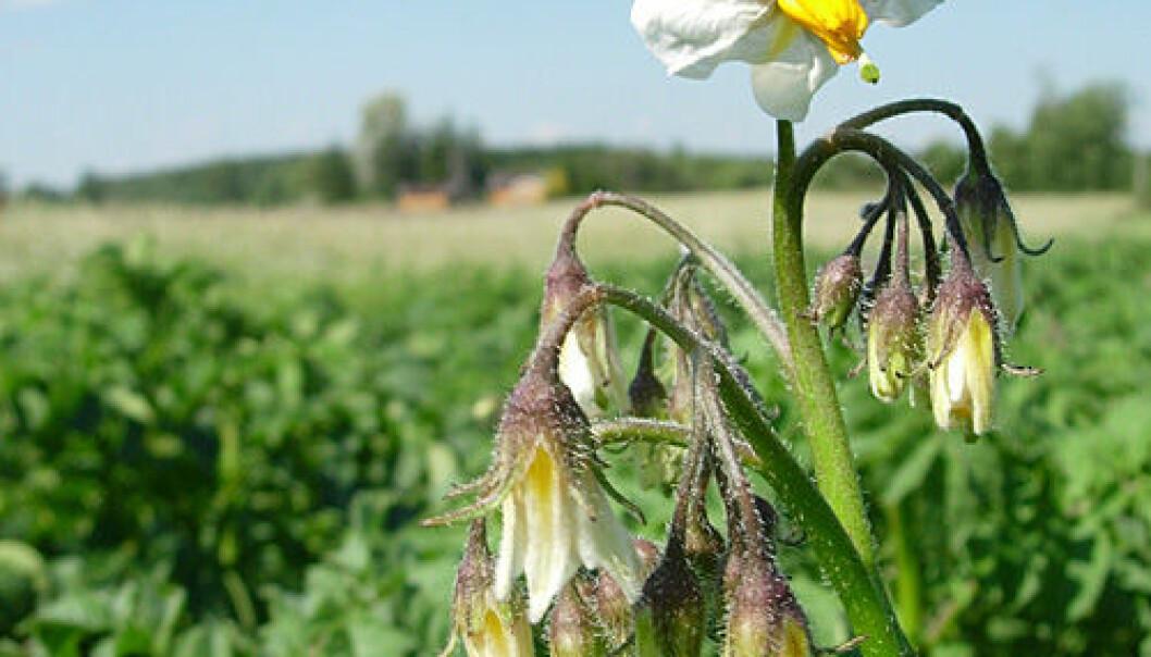 Bruken av soppmiddelet fluazinam mot tørråte hos potet ble redusert med hele 40–60 prosent i forskningsprosjektet. Foto: Bioforsk