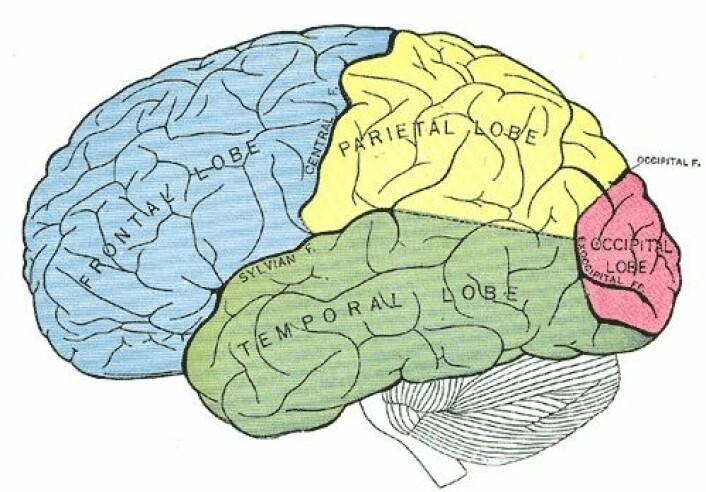 """""""Pannelappen: blått område, tinninglappen: grønt område, isselappen: gult område, bakhodelappen: rødt område. (Illustrasjon: Gray's Anatomy, 20th US edition, 1918, Wikimedia Commons)"""""""