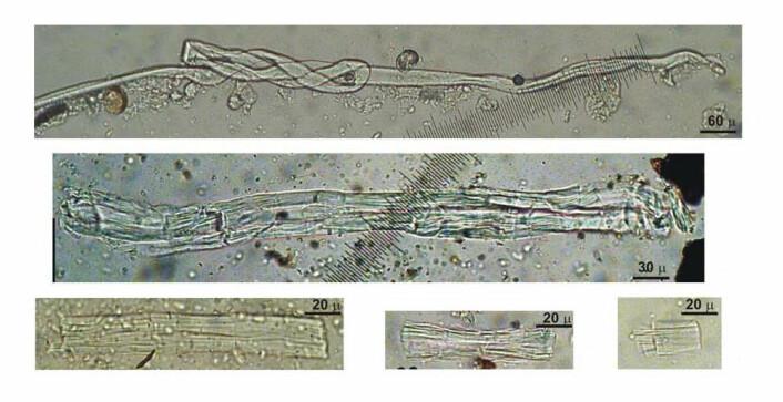 Fibre fra vill lin, funnet i Dzudzuana-hulen. Gjengitt med tillatelse fra Science/AAAS.