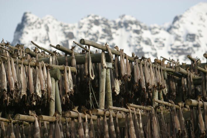 Tørrfiskens spesielle smak utvikles ved langsom tørking ute og etterlagring inne. (Foto: Frank Gregersen)