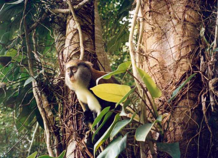 """""""Campbell-apen setter sammen ulike rop slik at de får ny mening, og forskere forstår nå litt av hva de snakker om. (Foto: Eugen Zuberbühler)"""""""