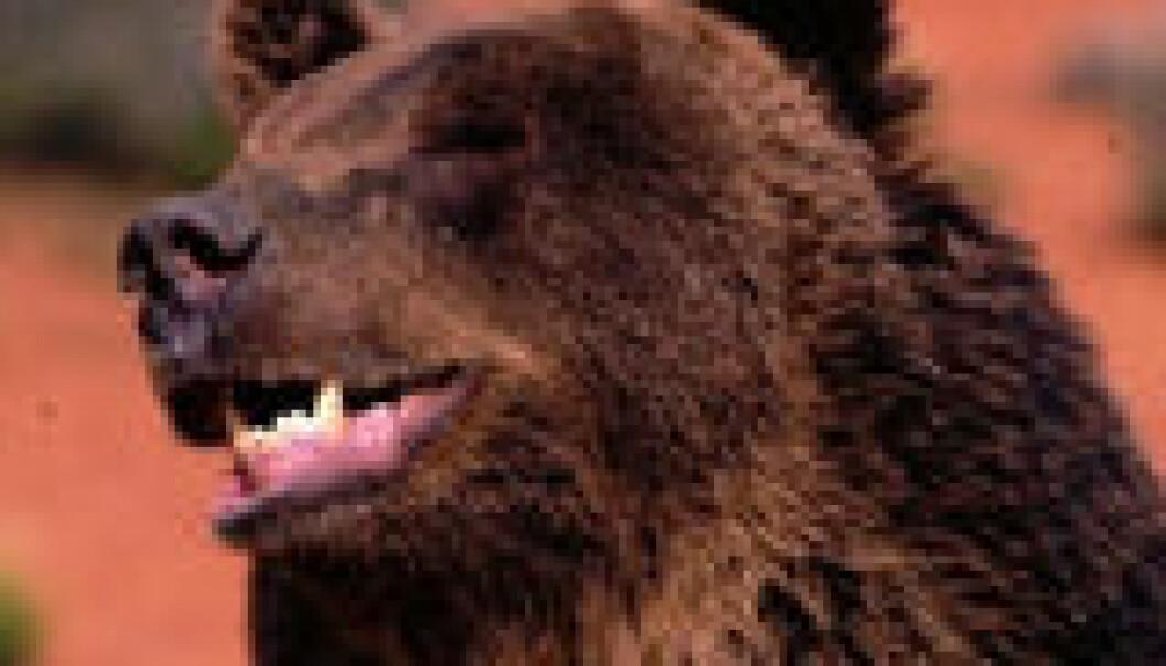 Sex og bjørneliv