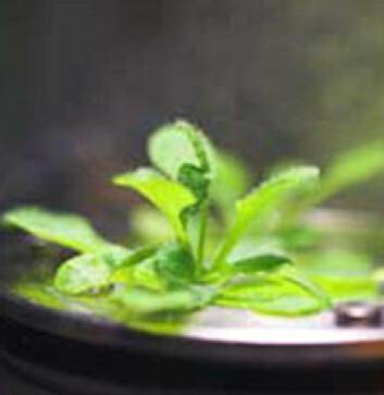 Vårskrinneblom, eller Arabidopsis thaliana, har blitt dyrket i rommet av romgartnere ved NTNU. (Foto: N-USOC)