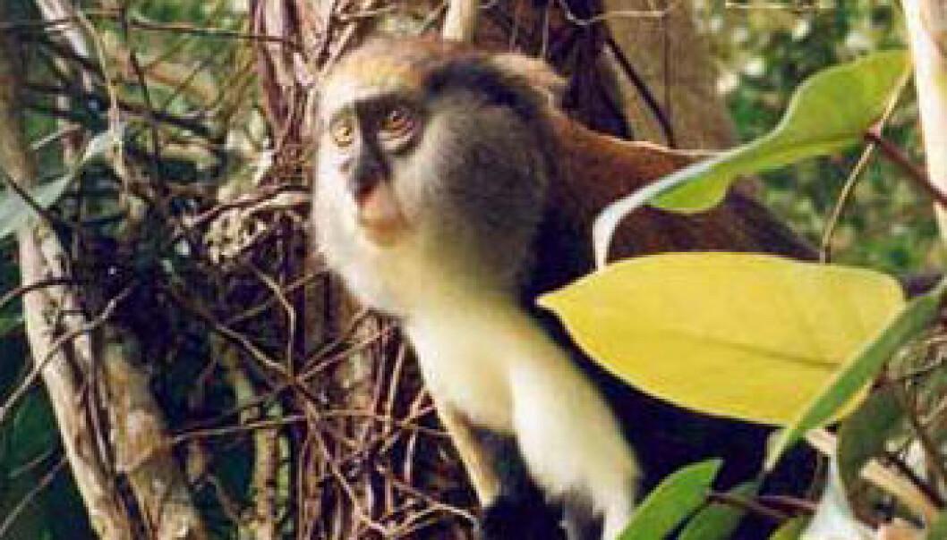 Forsker skjønner apespråk