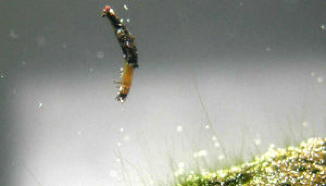 Første amfibiske insekt