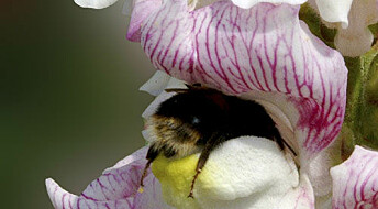 Stripete blomster lar humla suse