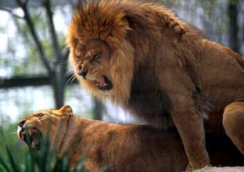 """""""Den afrikanske løvehannen er svært aggressiv og mye større enn hunnen. (Foto: iStockphoto)"""""""