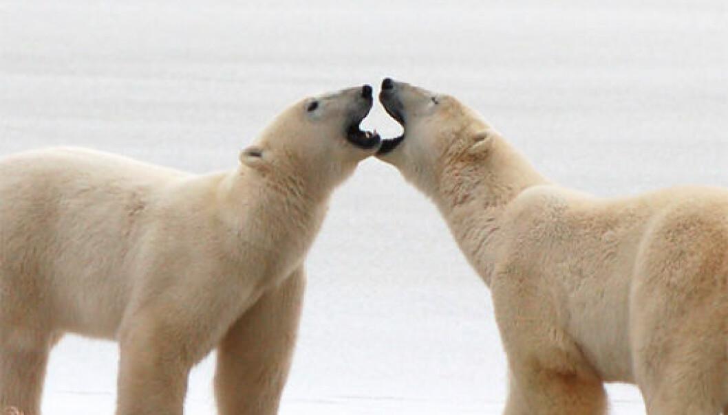 To unge hanner hilser på hverandre på en islagt kulp ved kysten av Hudson Bay, Canada. (Foto: Steven C. Amstrup, Polar Bears International)