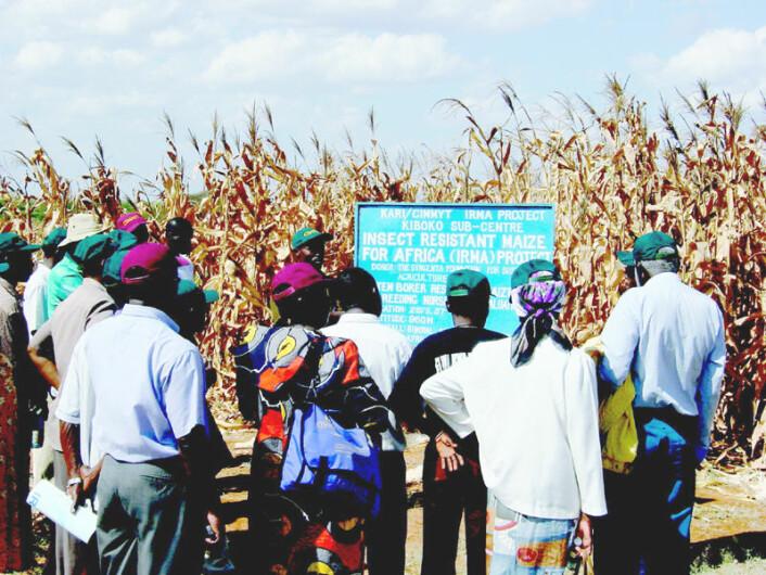 Plantefelt med genmodifisert mais i Kenya, 1993. (Foto: Dave Hoisington/CIMMYT, se lisens)