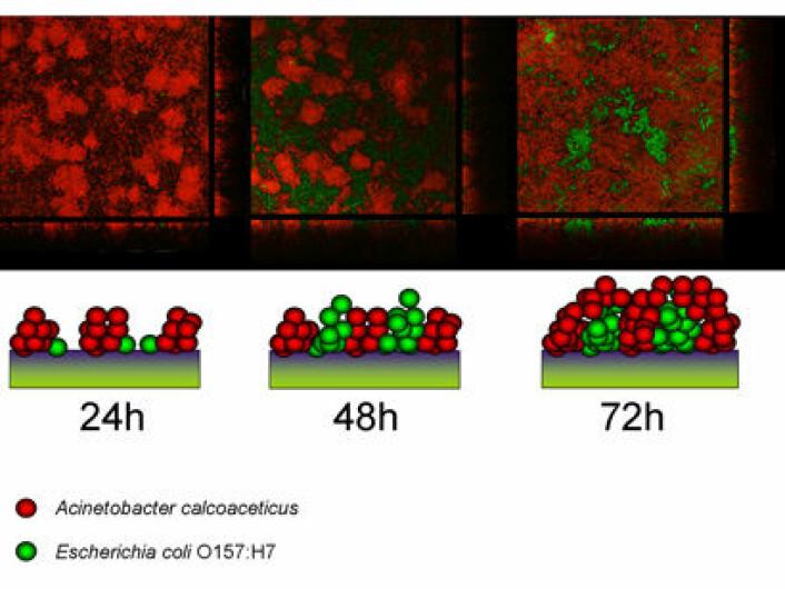 Her vises mikroskopibilder og skjematisk modell for hvordan A. calcoaceticus (rød) etablerer seg på overflater og gir økt evne til etablering av E. coli (grønn) på overflaten.