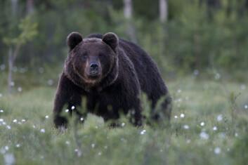 Det ble identifisert 164 individer av brunbjørn i Norge i fjor. (Foto: Terje Kolaas)