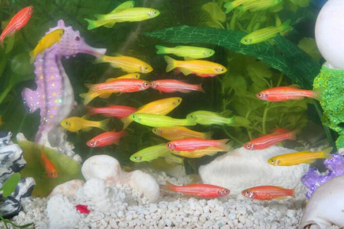 GloFish, fisk som har fått et gen fra en fluoriscerende manet. (Foto: www.glofish.com)