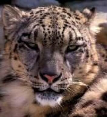 """""""Snøleoparden er en av de mange artene som sliter fordi klimaet endrer seg. Vil de vakre kattedyrene få det bedre andre steder?"""""""