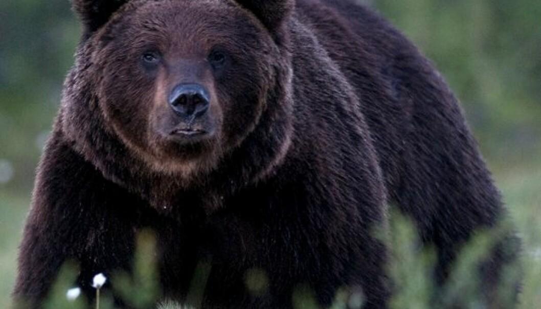 164 brunbjørn påvist i Norge