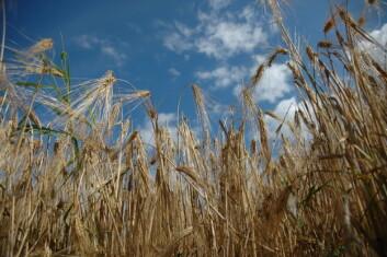 Norsk kornproduksjon står ovenfor store utfordringer. Arealet går ned samtidig som avlingsutviklingen har vært dårligere enn i andre land. (Foto: Jon Schärer)