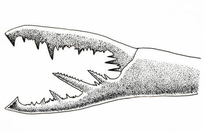 Klo av forhistorisk sjøskorpion. Sjøskorpioner er de største leddyr vi kjenner til. (Illustrasjon: William L. Parsons)