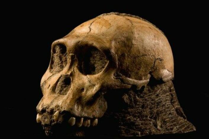 Den 1,9 millioner år gamle skallen av en ung hann. Australopithecus sediba er en av våre fjerne forfedre. (Foto: Brett Eloff/Lee Berger/University of the Witwatersrand)
