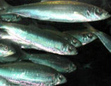 """""""Sildefisken fremstår som mer sårbar for sonarsignaler enn andre fiskearter, og særlig fiskeyngel."""""""