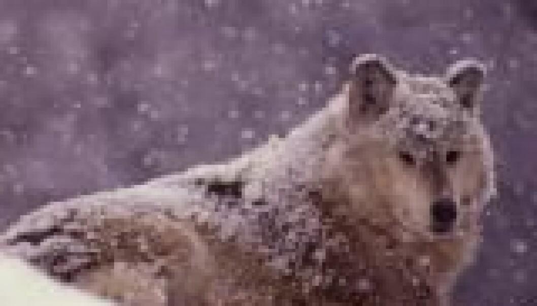 Ingen lisensjakt på ulv i vinter