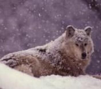 """""""I vinter skal ingen spesialtrente jegere i helikopter heve riflene for skudd mot ulven."""""""