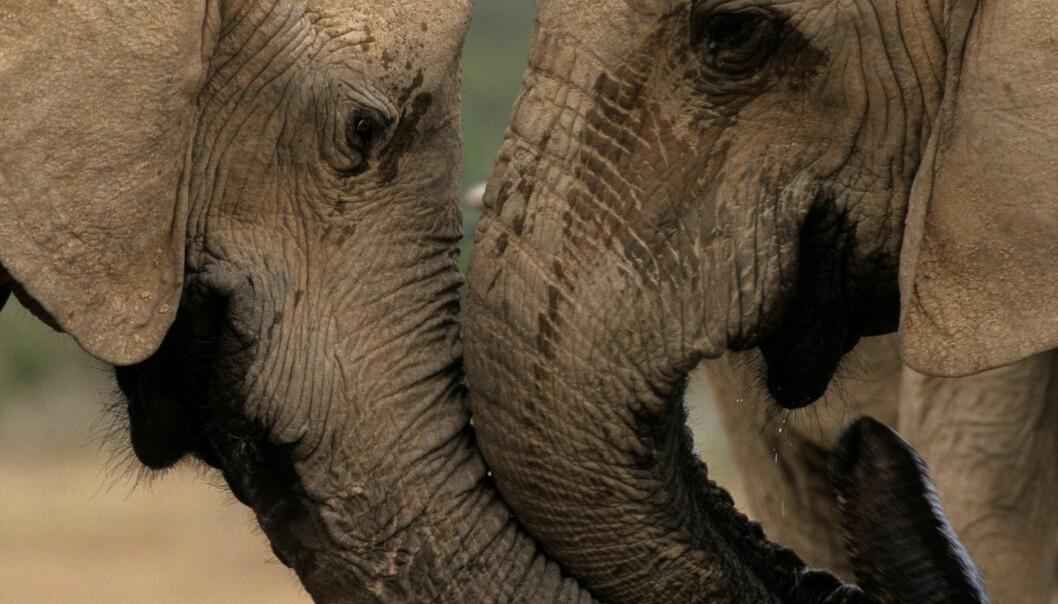 Er elefanter virkelig redde for mus?