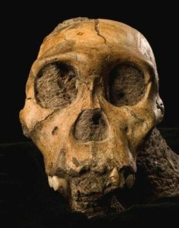 Ansikt fra fortida. Australopithecus er nærmennesker som utviklet seg i Afrika. De hadde store likheter med moderne mennesker, men betydelig mindre hjernevolum. (Foto: Brett Eloff/Lee Berger/University of the Witwatersrand)