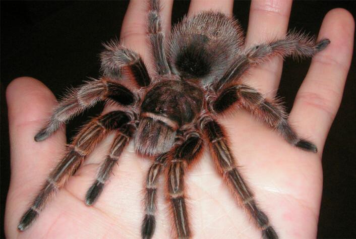 For å unngå å falle, kan tarantellen skyte ut silkehår på foten. (Foto: Wikimedia Commons)