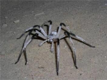 Den er en typisk nattarbeider, edderkoppen Cerbalus aravensis, og den er aller mest aktiv i årets varmeste måneder. (Foto: Roy Talbi, University of Haifa)
