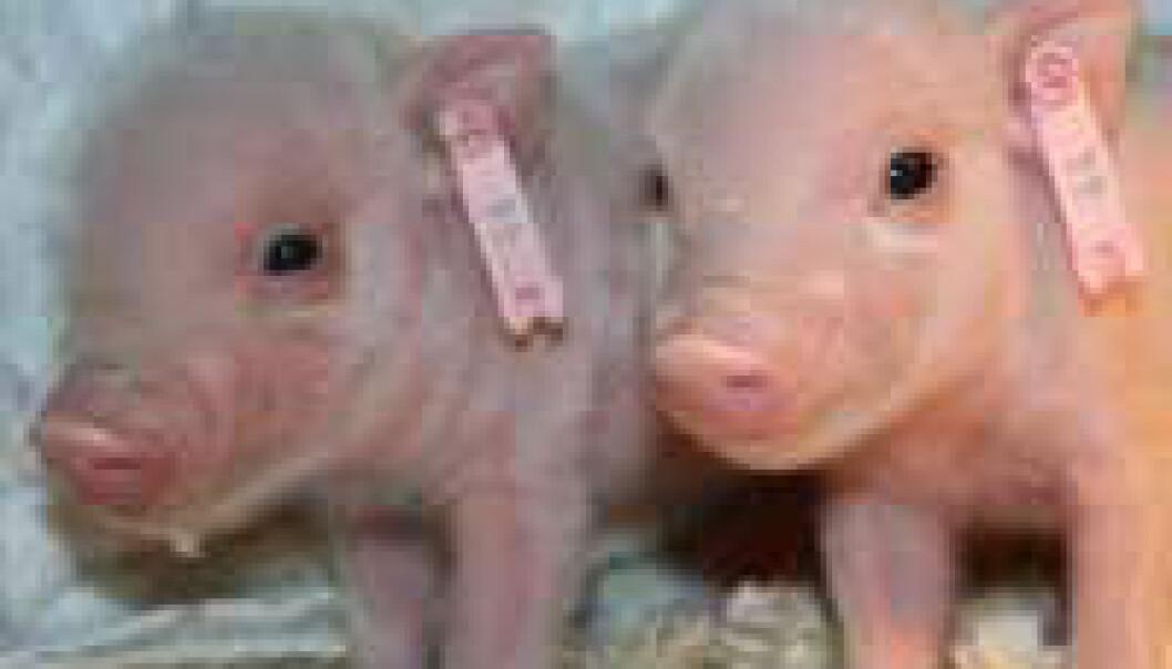 Klonede griser får unger
