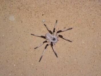 Cerbalus aravensis  ble oppdaget i sanddynen Sands of Samar, og forskerne mener edderkopper i dynen er truet, fordi den har blitt mindre. (Foto: Yael Olek, University of Haifa)
