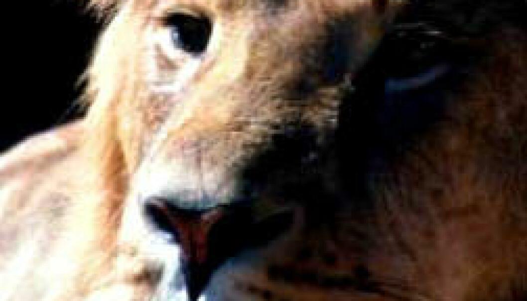 Løvemumie funnet i Egypt