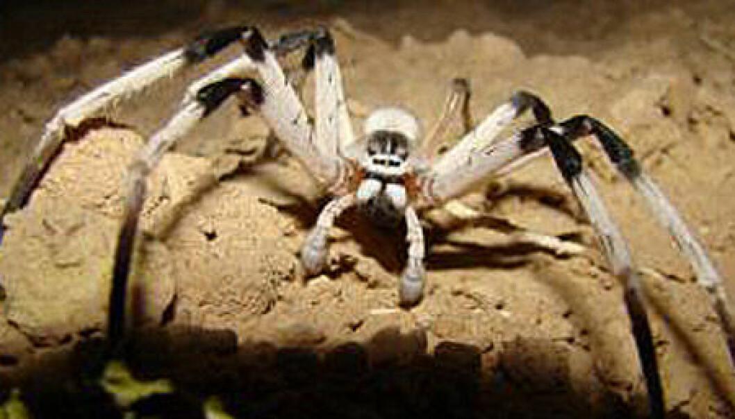 Edderkoppen Cerbalus aravensis. Kan oppnå et maksimalt benspenn på cirka 14 centimeter.  (Foto: Yael Olek, University of Haifa)