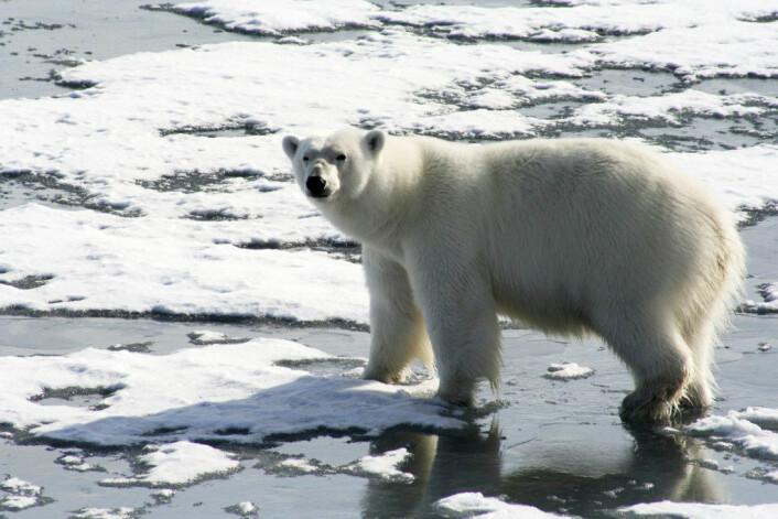 Isbjørnen på Svalbard er ganske skjermet for menneskelig inngripen. Det betyr at den er spart for bakterier som er motstandsdyktige mot antibiotika. Foto: Amanda Graham/flickr.com