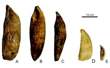 Tre tenner fra underkjeven (a,b,c) som har tilhørt Leviathan melvillei, her sammenlignet med tenner til en moderne spermhval, Physeter macrocephalus (d). Vi ser også en tann som tilhører en moderne spekkhugger, Orcinus orca (e). (Foto: G. Bianucci, Universitá di Pisa), O. Lambert, MNHN og P. Loubry, MNHN)